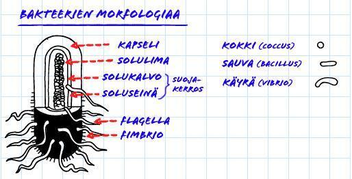 bakteerin rakenne